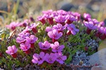 Moss Campion (Silene acaulis)